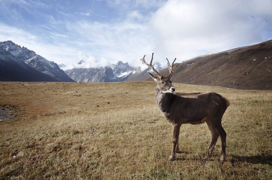 bring Christmas to the backcountry, caribou, reindeer