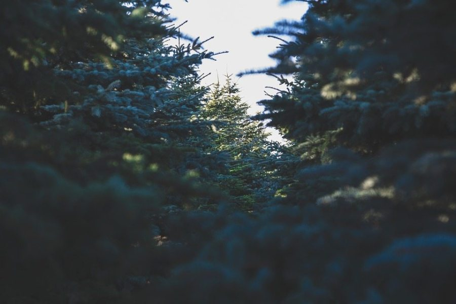 bring Christmas to the backcountry, trees, evergreen trees, forest