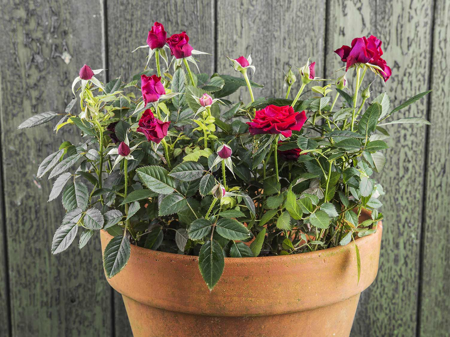 a complete guide to growing roses