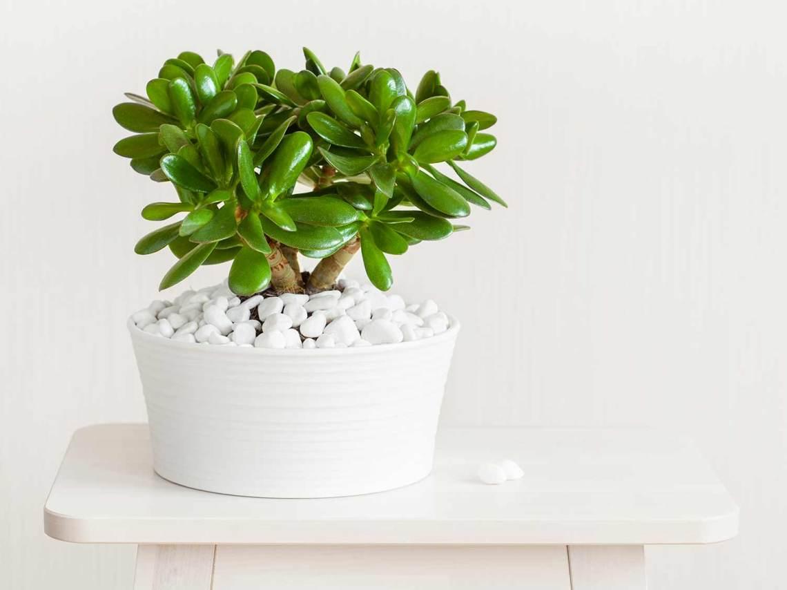 How To Grow Money Plant And Jade Plant Lovethegarden