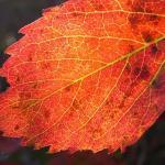 A poison ivy leaf