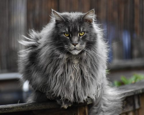 A fluffy gray cat with long fur looks right at the camera.