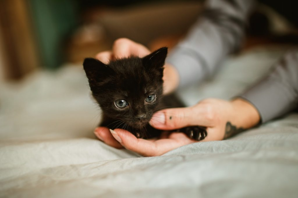 To ward off single kitten syndrome, a single black kitten gets gentle attention from a caregiver.