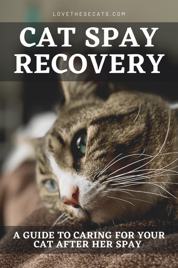 Cat Spay Recovery & Aftercare