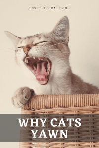 Read more about the article Everything you Need to Know About Why Cats Yawn