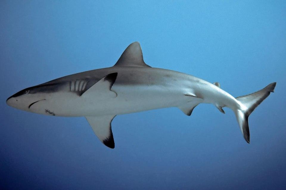 sharka kahn - Micronesia Truk Lagoon sharks while wreck diving