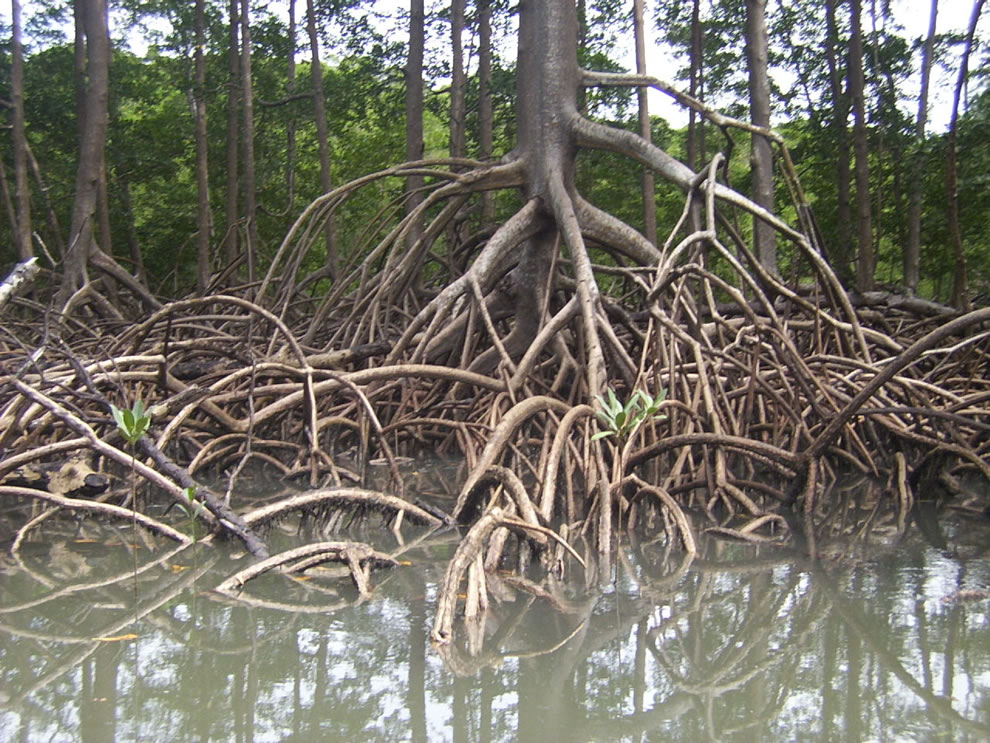 Aerial roots of red mangrove on an Amazonian river