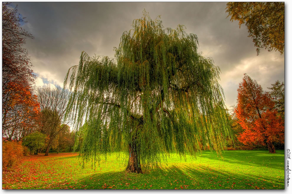 https://i2.wp.com/www.lovethesepics.com/wp-content/uploads/2011/10/Weeping-Willow-during-the-fall-in-Germany.jpg