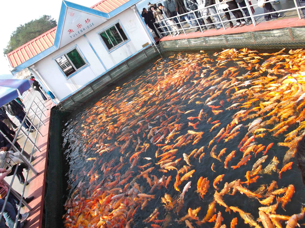 Massive amount of fish on Yule Bridge on 1 of the Thousand Lakes Islands (Qiandao Lake)