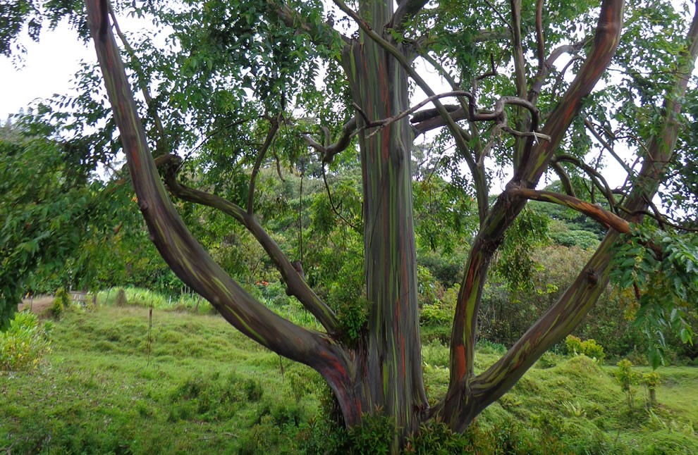 Grown around the world in tree plantations, the rainbow eucalyptus mainly for pulpwood used in making paper