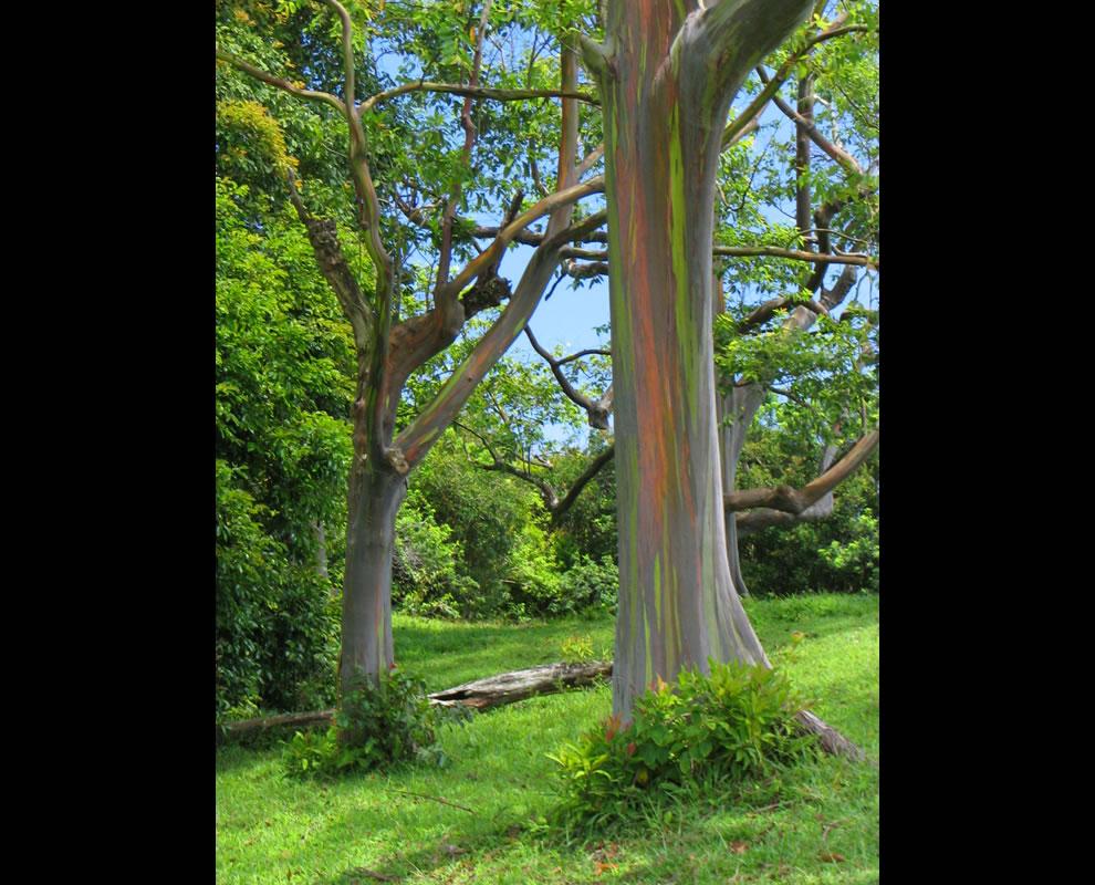 The other rainbow in Maui, rainbow eucalyptus trees