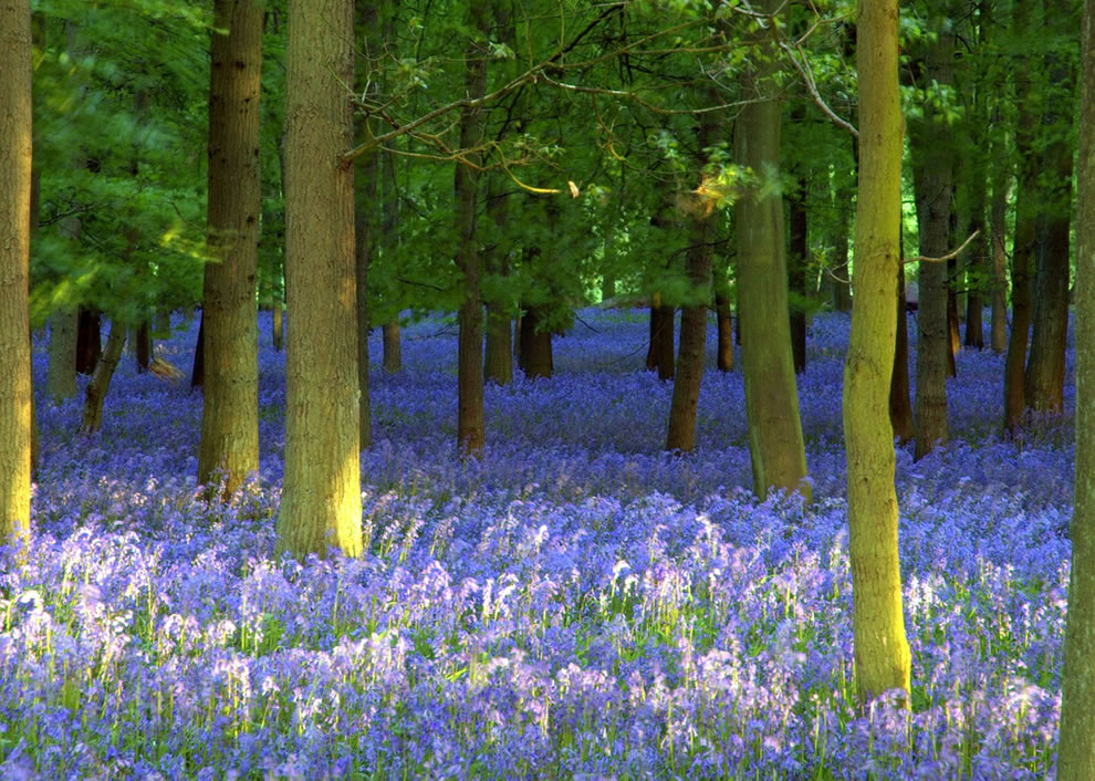 Image result for ancient forest bluebells