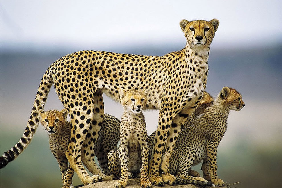 A mother cheetah and cubs in the Masai Mara, Kenya