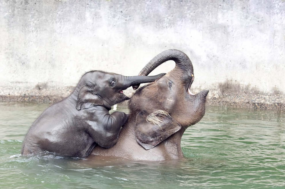 Mom elephant giving baby piggyback ride in the water