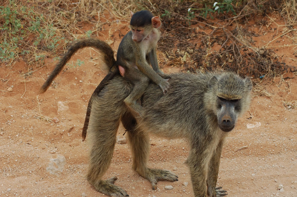 Monkey baby riding its mom