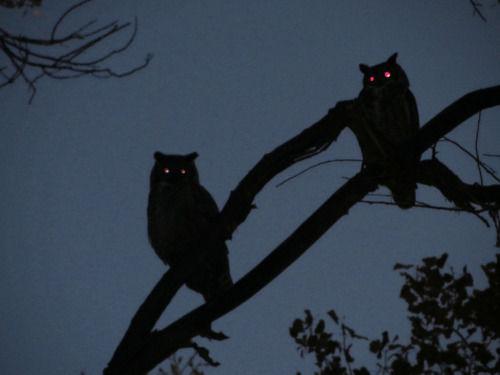Owls In The Night Pictures Photos And Images For