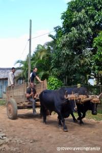 Oxen, Vinales Cuba