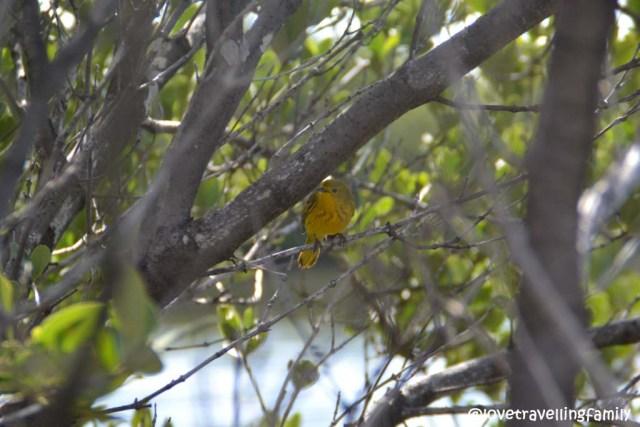 A tiny yellow bird, Ciénaga de Zapata, Cuba