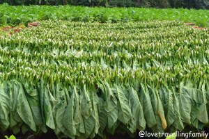 Drying tobacco leaves in Viñales, Cuba