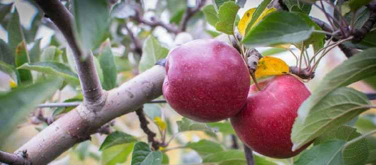 fesh ripe apples on a tree for apple picking