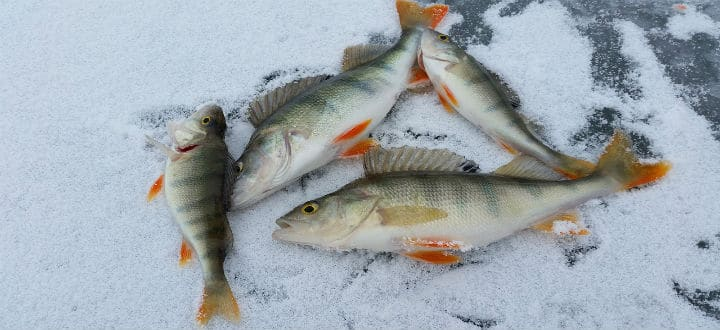 Perch caught by ice fishing in Vermont on Lake Champlain.