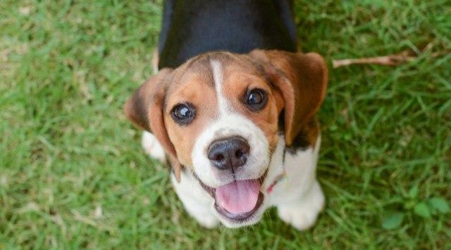 beagle size comparison