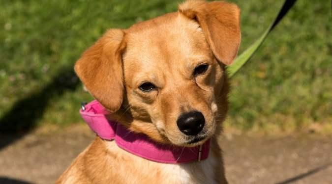Chihuahua Labrador Retriever Mix: Labrahuahua Breed Information