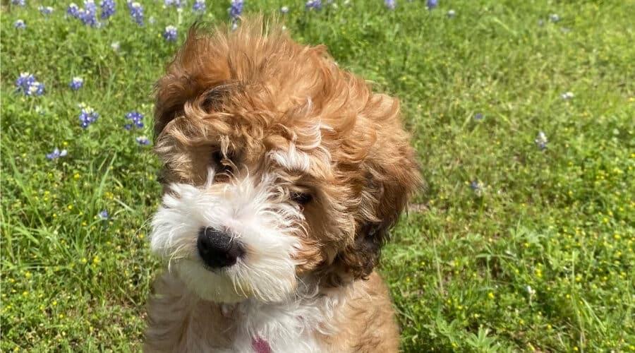 6. Chó Poodle lai Beagle (Poogle)