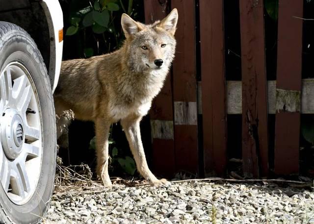 A coyote in Tarentum in 2017.