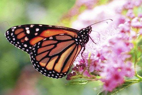 A monarch butterfly collects nectar from a flower. Buttrflies are one of nature's many pollinators for flowers and crops.