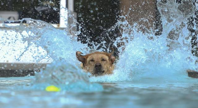 Lucy splashes in to the pool to retrieve a ball at the Rogers-McFeely Memorial Pool in Legion-Keener Park in Latrobe Saturday for the 6th Annual Pooches in the Pool event.