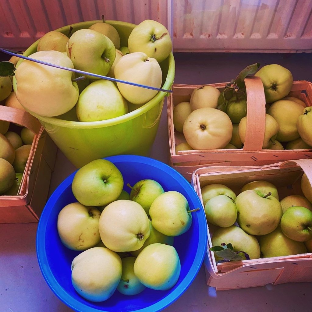 Boxes and buckets full of green summer apples stored in our pantry