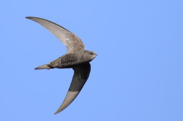 First swift sighted! Join Oxford Swift City Group this evening to find out more and to join their annual survey