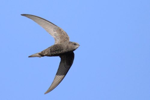 Celebrating our city's swifts - with Oxford Swift City group (online event) @ Online event