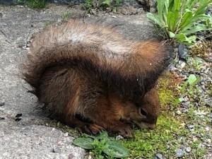 Oravanpoikanen