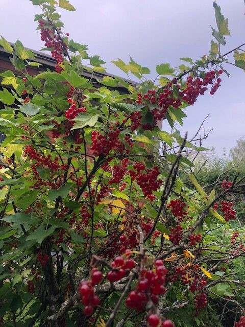 red currants in my yard
