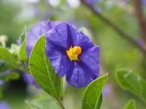 gentian-shrub-1271931_1920