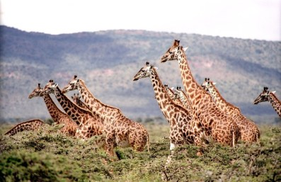 giraffe-657773_640