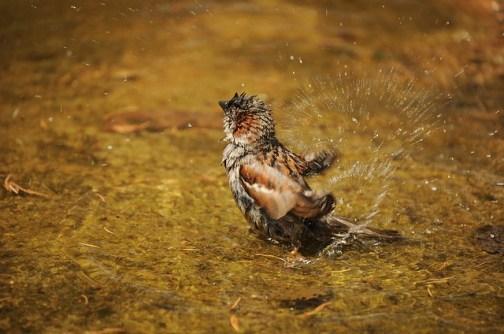 sparrow-1154182_640