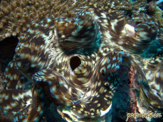 giant clam 6