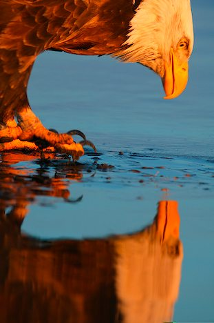 Narcissistic Eagle Reflection