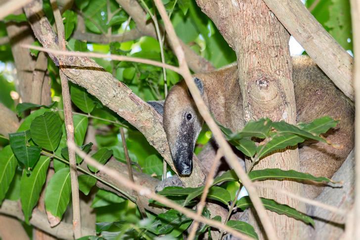 """Del guaraní """"tamandúa"""", el oso hormiguero chico es una de las dos especies autóctonas de Sudamérica / Foto: Fernando Flores"""