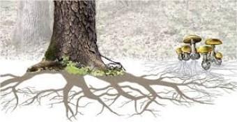 The mycorrhizal network http://www.botanicalgarden.ubc.ca/potd/2010/03/mycorrhizal_networks.php