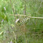 swallowtail caterpillar 2017