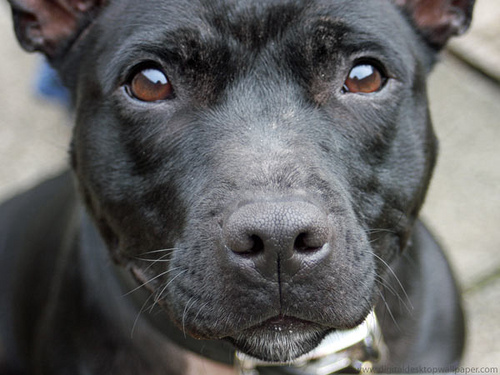 Staffordshire Bull Terriers are one of the least adopted breeds. Photo: Digital Wallpapers via Flickr