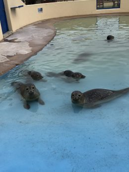 An image of the seal pups in the 'nursery pool' at Skegness Natureland Seal Sanctuary
