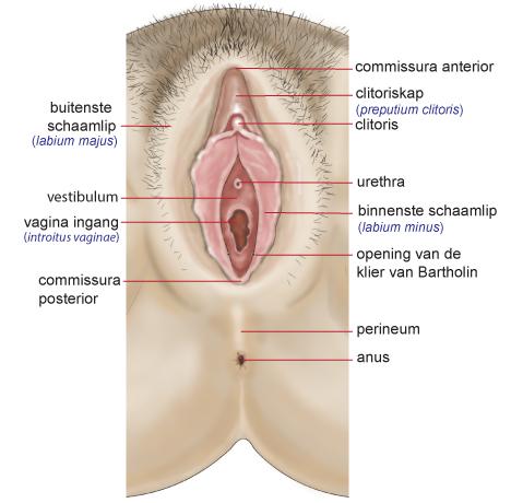 Vulva-met-benamingen-voor-vista-folder