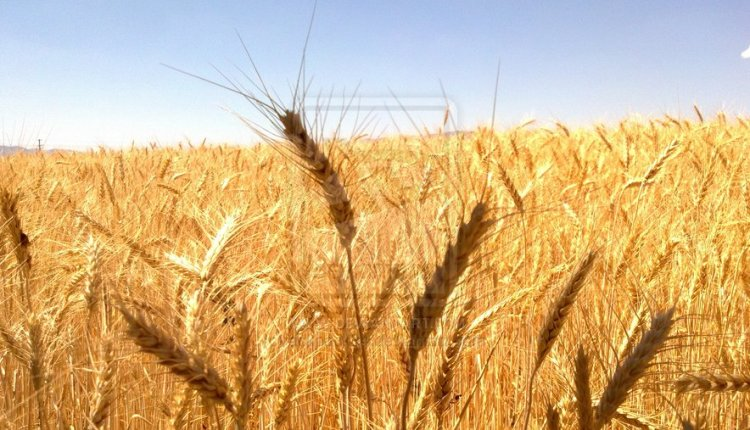 fields_of_grain_by_ackpack34-d5a5ucw
