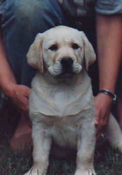 Lubberline Labrador Retrievers Photo Gallery