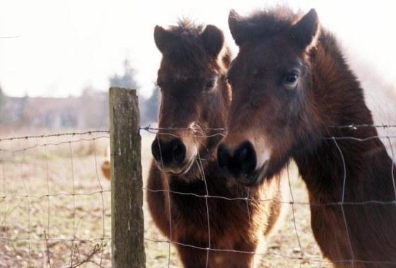 Deux jeunes poneys en hivers